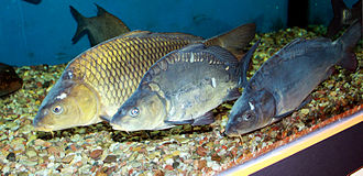 Cyprinidae - The common carp, Cyprinus carpio