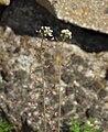 Capsella bursa-pastoris 20100402.jpg
