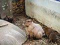 Capybaras of Chiba; 2013.jpg