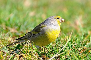 Citril finch species of bird