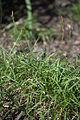 Carex caryophyllea 'The Beatles' plant.jpg