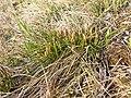 Carex humilis sl38.jpg
