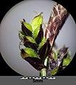 Carex montana sl16.jpg
