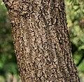 Caribbean Trumpet Tree (Tabebuia aurea) trunk in Hyderabad, AP W IMG 6553.jpg