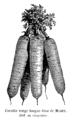 Carotte rouge longue lisse de Meaux Vilmorin-Andrieux 1904.png