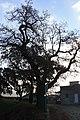 Carvalho-roble situado no lugar da Carvalheira, Guimarei - 14.jpg
