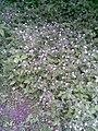 Caryophyllales - Stellaria nemorum - 4.jpg