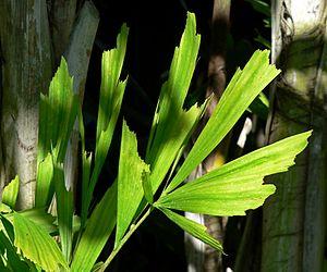 Caryota - Caryota mitis leaves