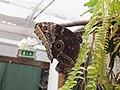 Casa delle farfalle - Morpho peleides 02.jpg