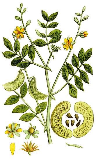 Senna (plant) - Senna alexandrina