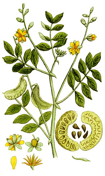 File:Cassia senna Ypey80-cropped.jpg