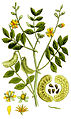 Cassia senna Ypey80-cropped.jpg