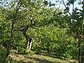 Castagni secolari nella Selva delle Casacce - panoramio.jpg