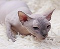 Cat - Sphynx. img 002.jpg