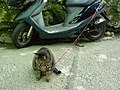 Cat with motor-scooter (531664688).jpg