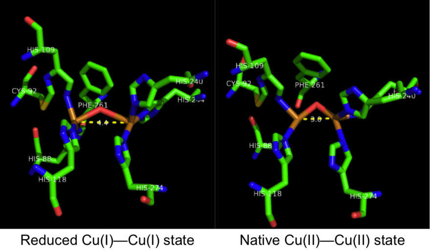 catechol oxidase lab Catechol oxidase is a ubiquitous enzyme that catalyzes the reaction between catechol and oxygen to yield benzoquinone and water it is a complex copper-containing protein, which acts also on a variety of substituted catechols.