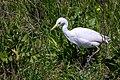 Cattle Egret (26277147637).jpg