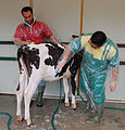 Cattle being prepared for show, Bastia Umbra.jpg