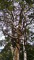 Caule e Copa de árvores Mata Cipó,derivação de Mata Atlântica-Ba.jpg