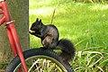 CeI 18 - Una ardilla en bici (13646980144).jpg