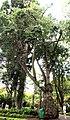 Ceiba speciosa Funchal Jardim Municipal Madeira 2016 1.jpg