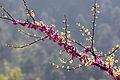 Cercis siliquastrum - Erguvan 07.jpg