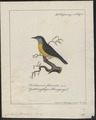 Certhiola flaveola - 1700-1880 - Print - Iconographia Zoologica - Special Collections University of Amsterdam - UBA01 IZ19000431.tif