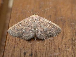 <i>Cerynea</i> Genus of moths