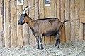 Chèvre (Capra aegagrus hircus) (27).jpg