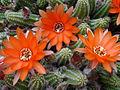 Chamaecereus silvestrii (15003963256).jpg
