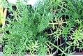 Chamaemelum nobile 0zz.jpg