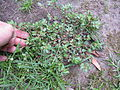 Chamaesyce hirta plant2 (12111529374).jpg