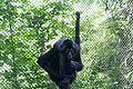 Chapultepec Zoo - Geoffroy's spider monkey.jpg