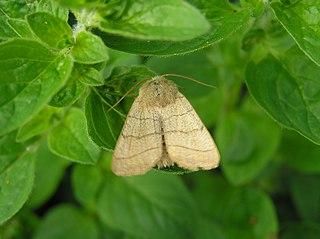 <i>Charanyca trigrammica</i> Species of moth