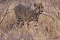 Cheetah (Acinonyx jubatus) (8603340471).jpg