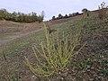 Chenopodium urbicum sl50.jpg