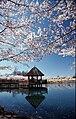 CherryBlossomsGazeboLakeCaroline.JPG