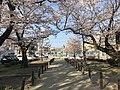 Cherry blossoms and train of Tenjin-Omuta Line near Zasshonokuma Station 2.jpg