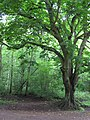 Chestnut in the woods - Salcey Forest - July 2009 - panoramio.jpg