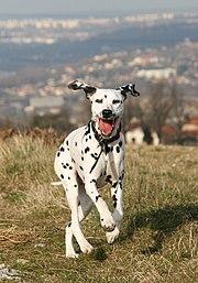Un dalmatien.