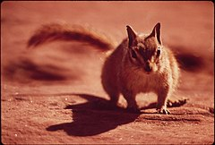 Chipmunk at Campground of Dead Horse Point State Park, 05-1972 (3814960662).jpg