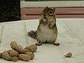 Chipmunk with peanuts (1311164762).jpg