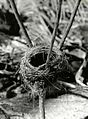 Christmas Island warbler nest, Christmas Island, March 1967. (5988083140).jpg