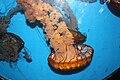 Chrysaora fuscescens Birch Aquarium 3.JPG