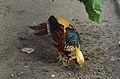 Chrysolophus pictus (male), Lahore Zoo - 10.jpg