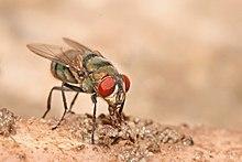 Audiolibro - Luciano di Samosata - Elogio della mosca