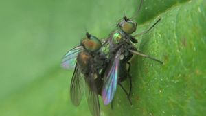 File:Chrysotus in copula - 2014-06-20.webm