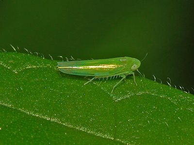 Cicadellidae - Empoasca decipiens-1.jpg