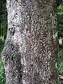 Cinnamomum oliveri - bark Foxground.JPG