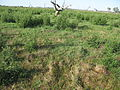 Cirsium vulgare habit2 (12401054123).jpg